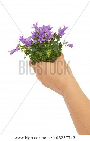Bouquet of flowers blue bells in hands on a white background