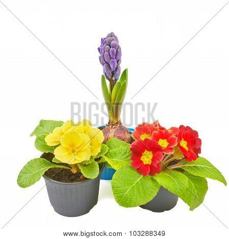 Set of spring flowers rose, primrose, hyacinth.