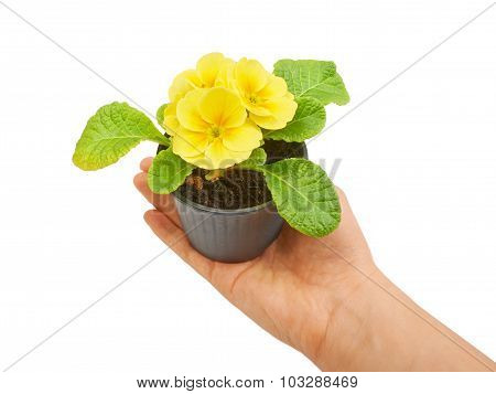 Primrose yellow flower violet isolated on white background