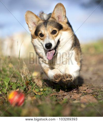dog Welsh Corgi running after a ball