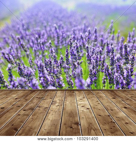 Lavender flower blooming scented fields.