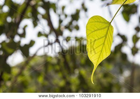 Leaf In Light