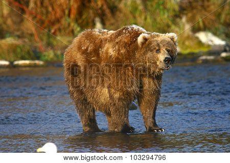 old kodiak brown bear