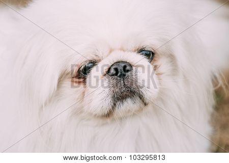 Close up portrait of young White Pekingese Pekinese.