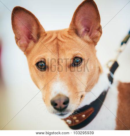 Close Up Basenji Kongo Terrier Dog