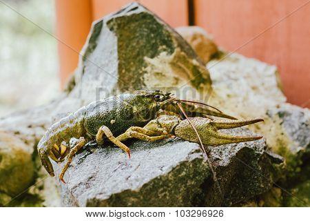Wild Signal crayfish is sitting on a stone. Russian wildlife