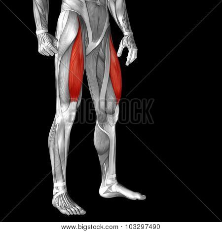 Concept or conceptual 3D adductor longus human upper leg anatomy or anatomical and muscle isolated on black background