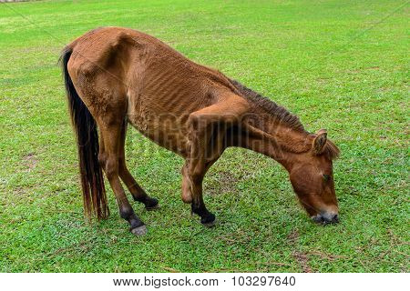 Broken Leg Horse Eating Grass