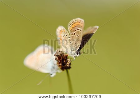 Butterflies Copulate On Dry Flower