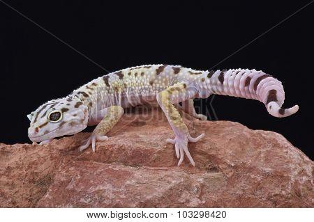 Iranian fat tailed gecko