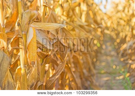 Corn Cob On Stalk In Maize Field