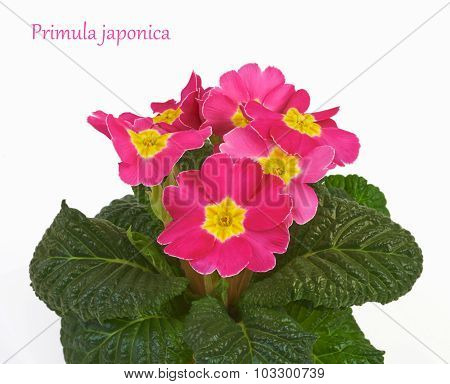 Primrose pink flowers isolated on white background