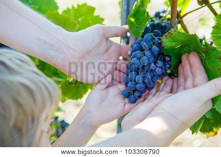 Hands Of Child And Adult With Blue Grapes Ready To Harvest