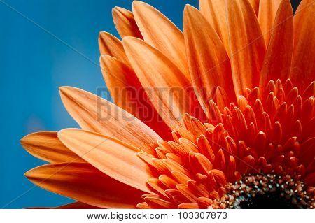 Orange Gerbera Flower CloseUp Detail Petals Background