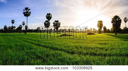 Panoramic View Of Rice Field With Palm Tree Background In Morning, Phetchaburi Thailand.