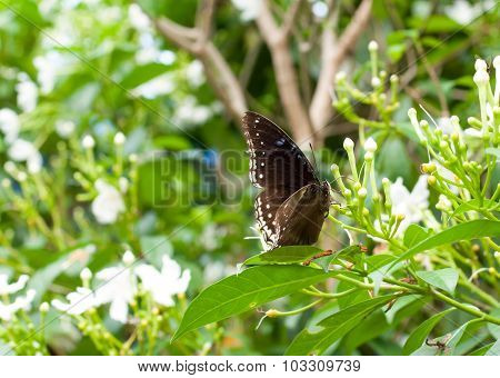 Black Butterfly Is Drinking Nectar On White Flower