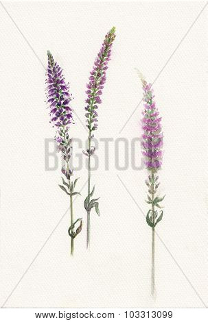 Watercolor sprigs of violet field salvia