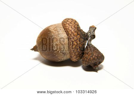 One Acorn With Hat On Over White