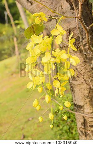 Golden Shower Tree