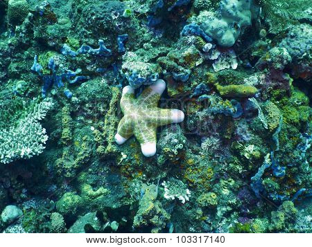 Fat Starfish