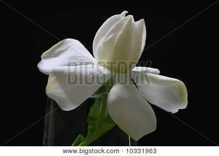 Creamy White Gardenia black background