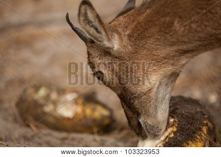 Portrait of young roe eating something