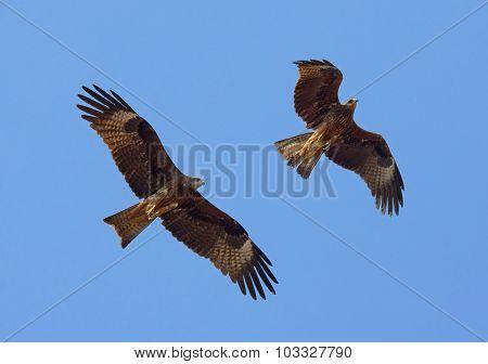 Two Flying Black Kites