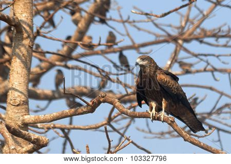 Black Kite On The Tree With Rosy Starlings In Goa, India