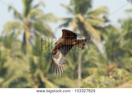 Flying Black Kite At Palms Background In Goa