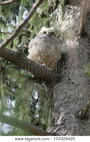 Intense Baby Owl