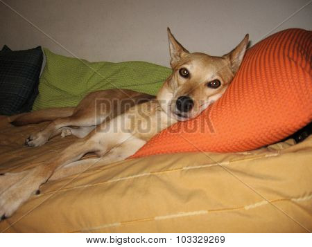 Dog relaxing on owner's bed