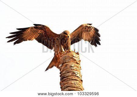 Black Kite Landing On Broken Palm