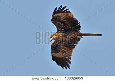 Flying Black Kite In Goa, India