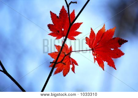 Maplethree Maple Leaves