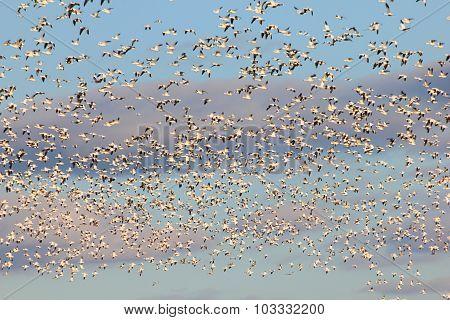 Sunlit Snow Geese