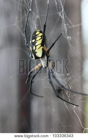 Argiope 3/4 View
