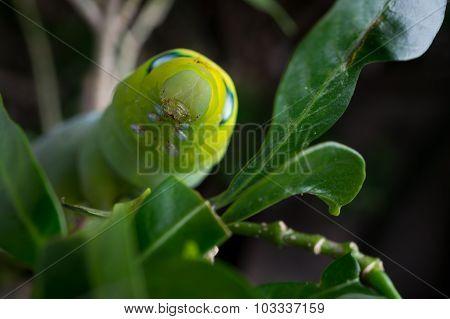 Green Butterfly Worm
