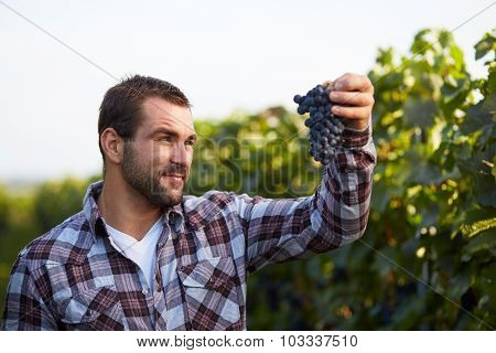 Winemaker In Vineyard Picking Blue Grapes
