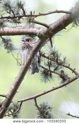 Bluebird Vertical