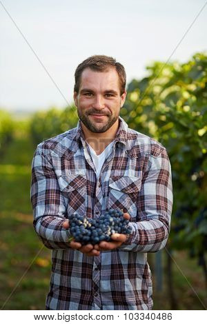 Farmer Holding Freshly Harvested Blue Grapes In Vineyard