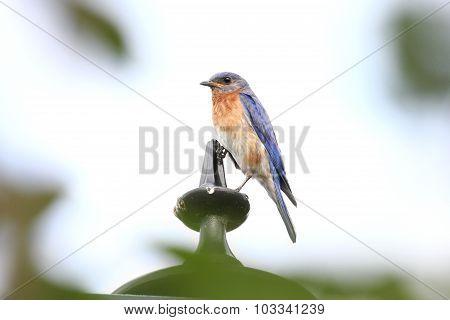 Bluebird Left