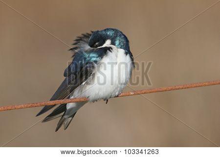 Fluffy Tree Swallow