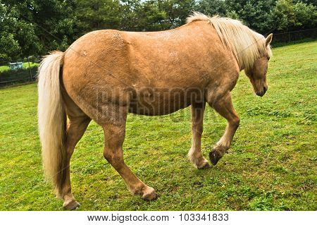 Icelandic horse at pasture on a green meadow