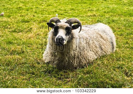 Icelandic tup is resting on a green meadow