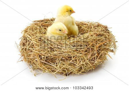 Pair Of Newborn Chickens In Hay Nest