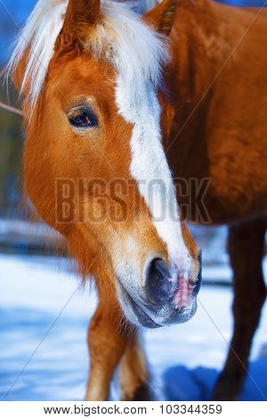 Brown Horse Haflinger in snowy. Eye contact.