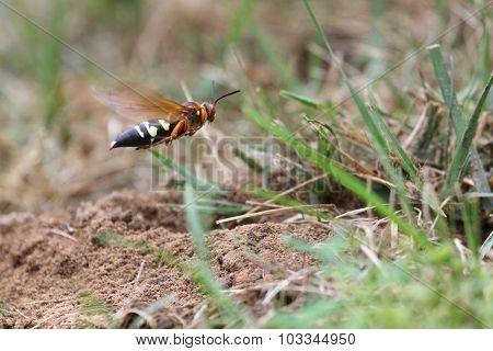 Cicada Killer Runway