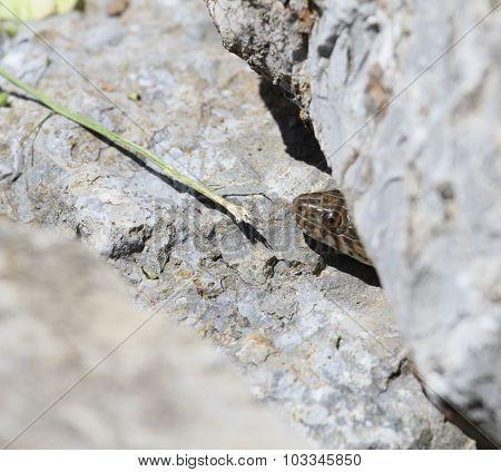 Peeking Water Snake