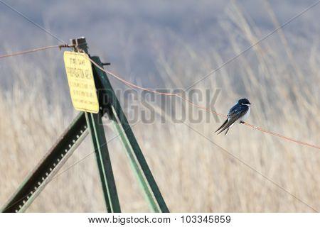 Zen Tree Swallow