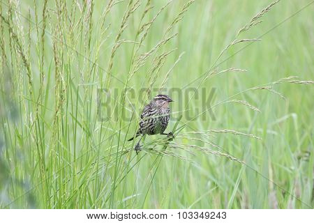 Redwing In Grass
